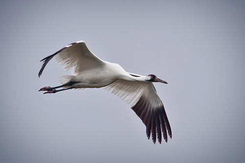 Hopefully, the MBTA will be able to protect birds such as whooping cranes for another 100 years. ©USDA/John Noll.