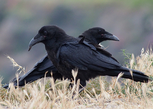 Ravens are social birds and our partners in conservation efforts. ©Ingrid Taylar, flickr