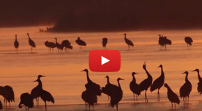 Video: The Great Migration of the Sandhill Crane