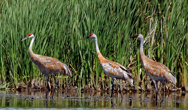 Tall, gray-bodied, crimson-capped sandhill cranes breed in open wetlands, fields and prairies across North America. During the breeding season, they preen rusty-orange, iron-rich mud into their breast and back feathers. ©John T. Andrews