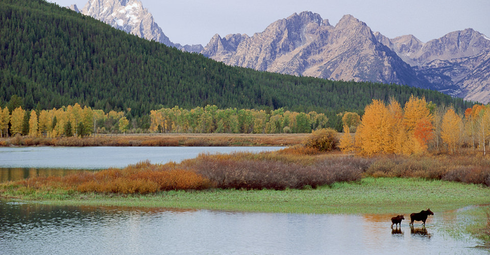 Alces alces. Moose cow and calf at Oxbow Bend of the Snake River. Grand teton N.P., WY.