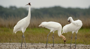 Centennial of the Migratory Bird Treaty: Will It Survive Another 100 Years?