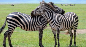 Wildlife Photo of the Week: Zebra Love