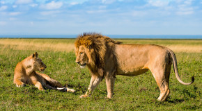 Wildlife Photo of the Week: Lion Attraction