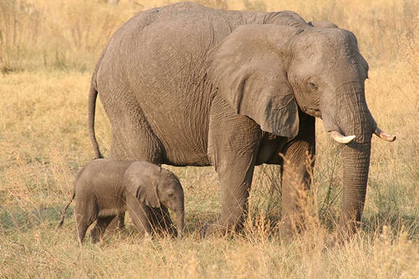 Some describe the bond between a baby elephant and its mother as the closest of any of the animals on Earth. If the baby is female, she will likely stay with her mother into her own adulthood and until the mother dies. Males stay with their mothers until about the age of 12. ©Maggie Kareus