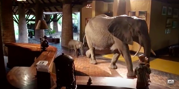 Recently, the herd brought a two-week old baby through the hotel lobby. ©Video by Lion Mountain TV