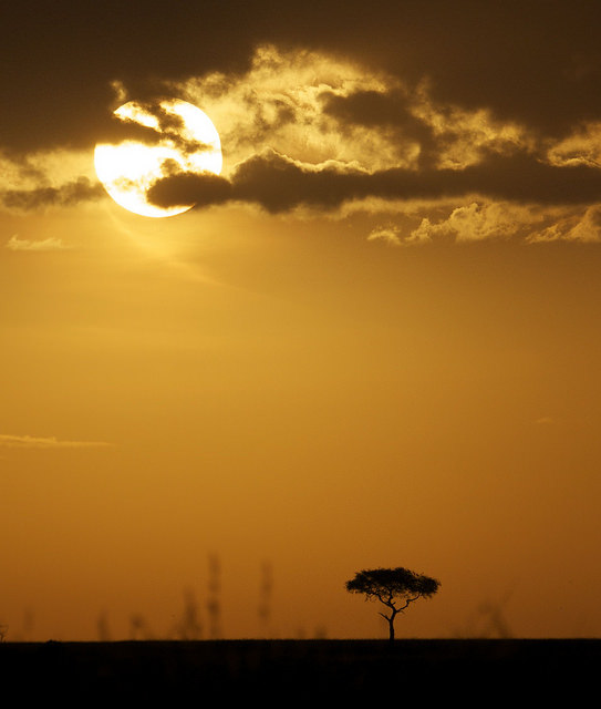 acacia tree silhouette sunset