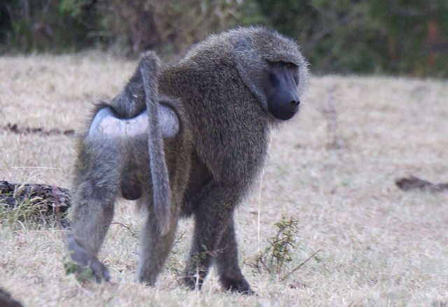 baboon walking