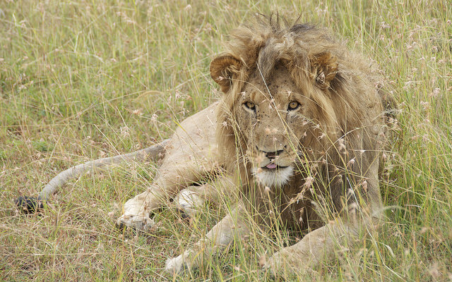 male lion on the savanna