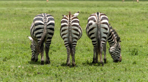 Wildlife Photo of the Week: Zebras in Tanzania