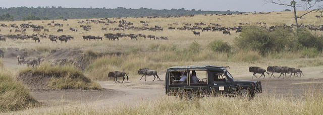 safari guests photograph wildebeest