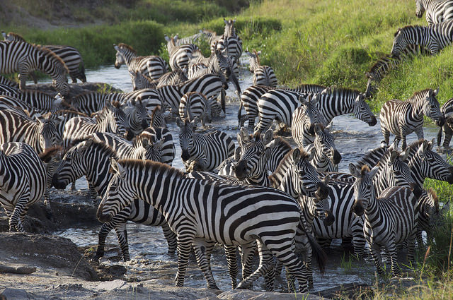 zebra herd crossing a river seen on a great migration photo safari