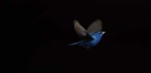 "What we once thought looked like the constant flapping of a bird's wings turns out to be a ""flap, flap… ""©Video: The Messenger ""Behind the Scenes,"" SongbirdSOS Film"