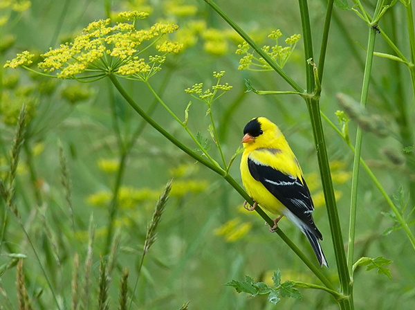 "The American goldfinch is one of the most colorful and conspicuous songbirds. Often called ""wild canaries,"" goldfinches have a song described as sweet and ecstatic. ©Kelly Colgan Azar, flickr"