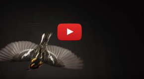 """Video: """"The Messenger"""" Movie's Memo about Songbirds"""