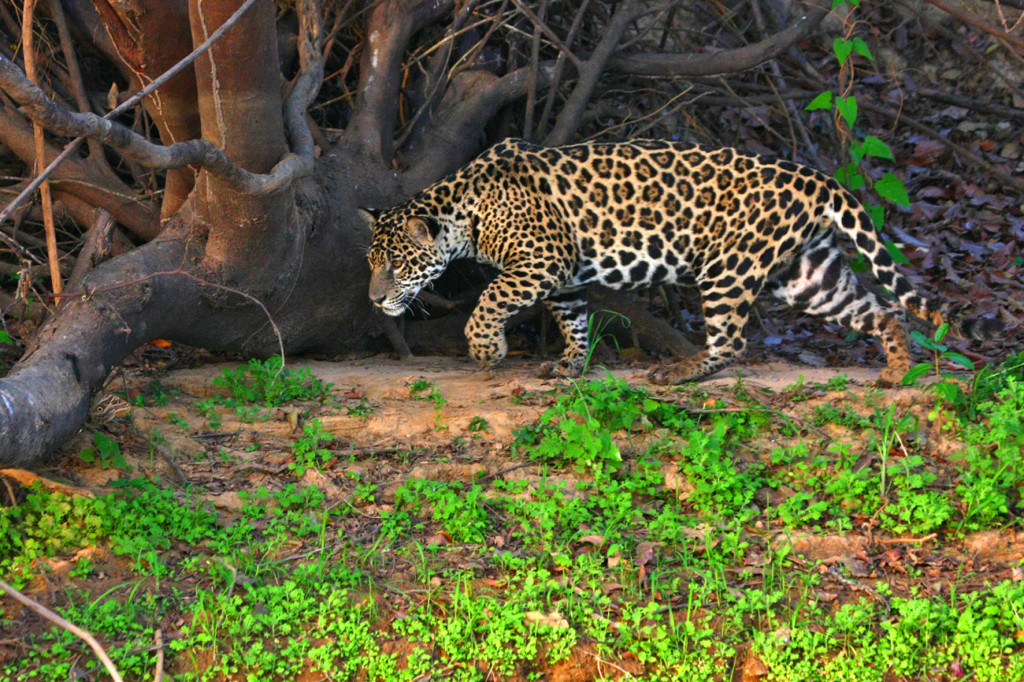 Jaguar in the Brazil's Pantanal wetlands. © Cassiano Zaparoli/NHA