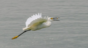 Wildlife Photo of the Week: Egret Breakfast Banquet