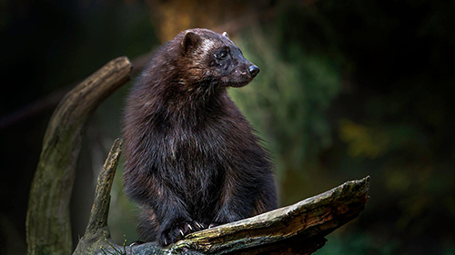 Some say listing wolverine as endangered is detrimental to economic development. ©Harald Olsen/NTNU, flickr