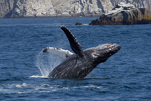 Humpbacks may be composing new songs about the warming world we've caused. ©Candice Gaukel Andrews