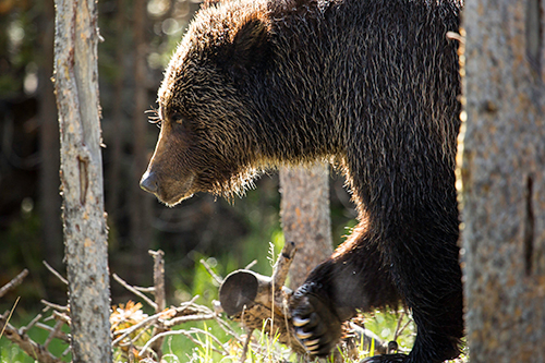 There are about 700 grizzly bears in the Greater Yellowstone Ecosystem. ©NPS photo by Neal Herbert, flickr
