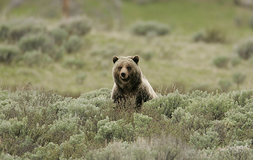 If and when grizzlies are delisted, the states of Idaho, Montana and Wyoming will probably institute grizzly bear hunts. ©NPS photo by Jim Peaco