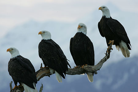 There may have been as many as 500,000 bald eagles in North America in the 1700s. ©Eric Rock