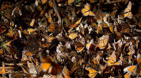 Monarch Butterflies are Making a Rebound