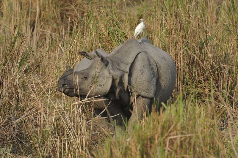 An egret sits on an asian rhino's back