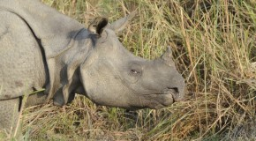 Assam State in India Takes New Steps to Stop Rhino Poaching