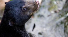 Nat Hab Sponsors 2nd-ever Release of Endangered Sun Bear into the Wild