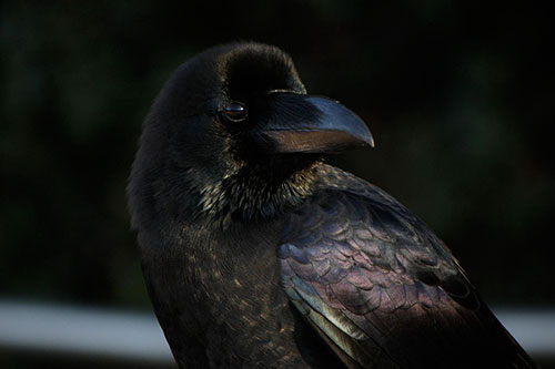 The entire Corvidae family, which includes crows, is renowned for being the smartest of all birds and some of the smartest of all animals. ©Nikita, flickr