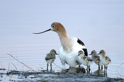 The wetlands of the Malheur National Wildlife Refuge in Oregon draw thousands of birds—such as these American avocets—and their watchers. ©Barbara Wheeler/U.S. Fish and Wildlife Service