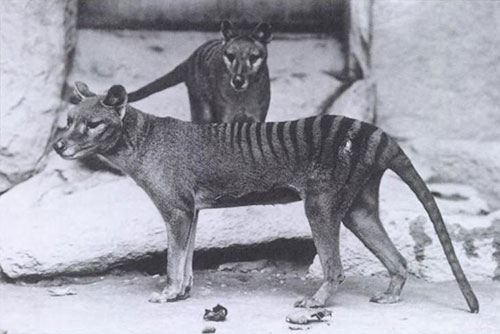 The walls will feature images of every known species that has vanished from the planet, such as the Tasmanian tiger. © E.J. Keller, Smithsonian Institution archives.