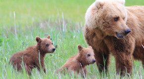 "Vote for Our ""Alaska Grizzly Guide"" Video in the 2016 Adventure in Motion Film Contest"