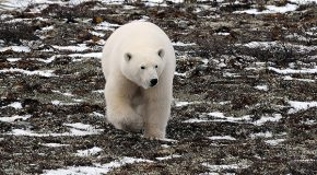 Polar Bear Alert in Greenland | Olaf's Corner
