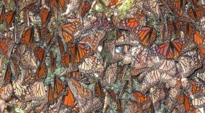 Last Monarch Butterfly Migration?