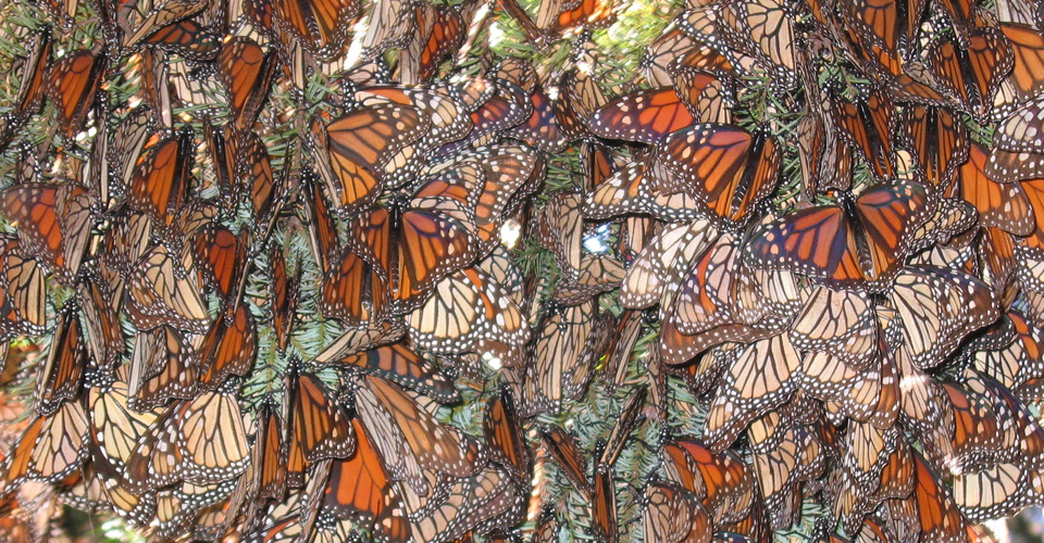 Monarch butterflies, Chincua Butterfly Sanctuary, Mexico