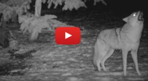 "Video: Listen to the Howls of Coyotes, the ""Song Dogs"""