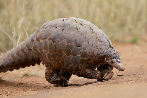 Despite protections under CITES, poaching and illegal trade in pangolins continue at a high rate. All eight species are declining and at risk of extinction. ©David Brossard, flickr