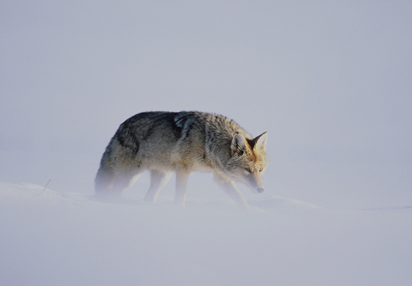 Video: Listen to the Howls of Coyotes, the