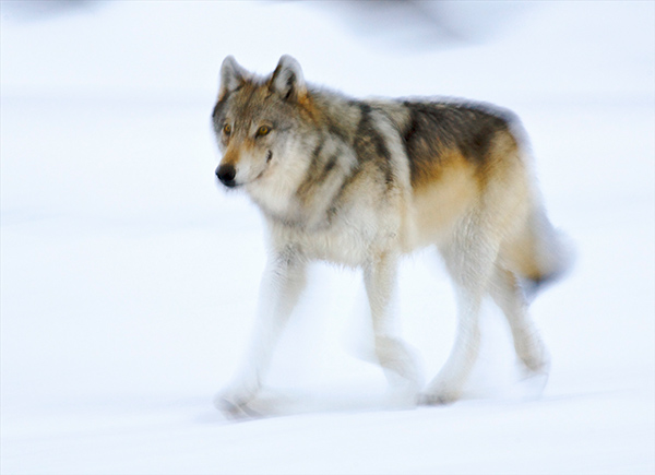 Throughout the world, wolves are being eradicated. Why? ©Henry H. Holdsworth