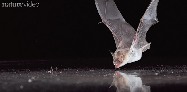 "When researchers placed a metal plate on a table so that the bats could echolocate underneath it, they still tried to drink from its surface. ©From the video ""Bat Sense"" by NatureVideo"