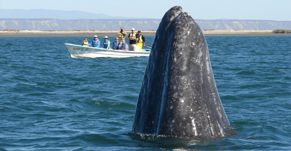 Great Gray Whale Migration