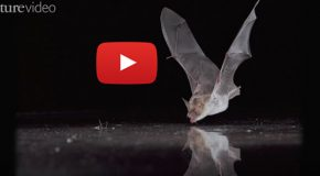 "Happy Halloween: Watch Bats Show Off a ""Drive to Drink"""