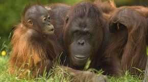 Endangered Orangutans of Borneo