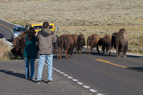 People are asked to stay 25 yards away from bison in Yellowstone National Park—but often don't. ©Brian Gratwicke, flickr