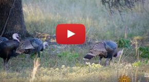 A Soothing, Wild Turkey Video on This Thanksgiving