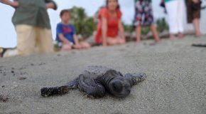 Seabound Baby Turtles in Costa Rica