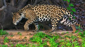 How to Spot a Jaguar in the Peruvian Amazon