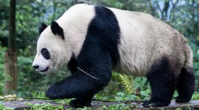 Giant Pandas Rebound in China